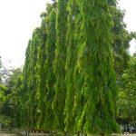 cây-hoangnam