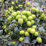 Kỹ thuật trồng táo thái lan