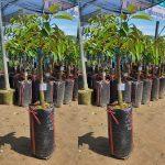 Giống cây sầu riêng thái chất lượng