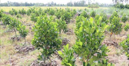 Trong quá trình trồng mít Thái, khoảng cách phù hợp là từ 3,5m x 3,5m