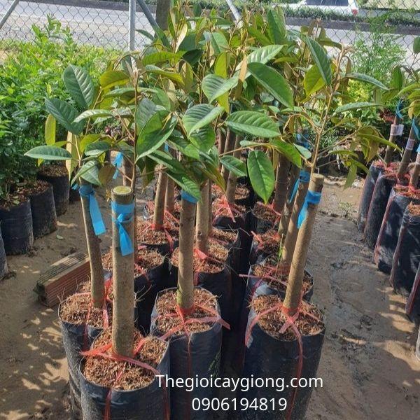 Giống cây sầu riêng ri6