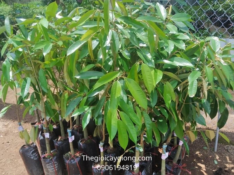 Giống cây sầu riêng thái monthong