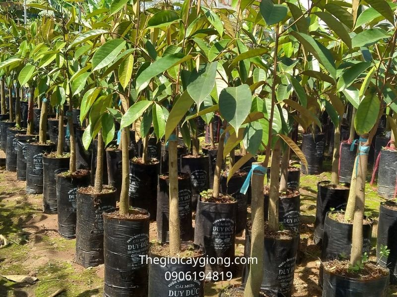 Cách trồng và chăm sóc cây sầu riêng Ri6