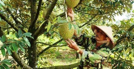 Hướng dẫn bón phân cho cây sầu riêng đúng chuẩn nhất