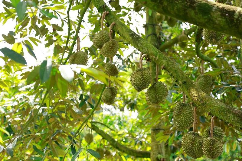 Hướng dẫn cách phục hồi cây sầu riêng sau thu hoạch hiệu quả