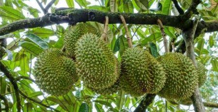 Hướng dẫn quy trình trồng và chăm sóc cây sầu riêng đúng chuẩn
