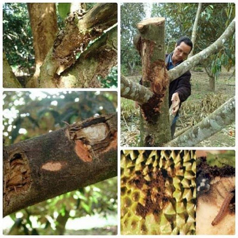 Kỹ thuật phòng trị bệnh cây sầu riêng bị xì mủ hiệu quả nhất
