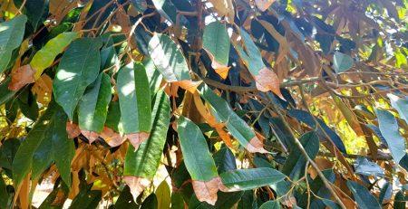 Cận cảnh bệnh lá cháy ở cây sầu riêng