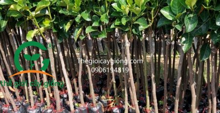 Giống Cây Mít Ruột Đỏ Mã Lai