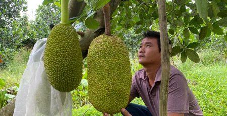 Hướng dẫn cách chăm sóc cây mít Thái mới trồng
