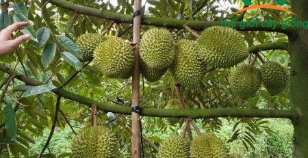 Hướng dẫn cách trồng sầu riêng Thái tăng năng suất như mong muốn