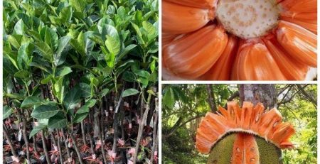Tìm hiểu mức giá cây giống mít ruột đỏ là bao nhiêu