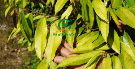Có nhiều nguyên nhân khác nhau làm cây sầu riêng vàng và rụng lá