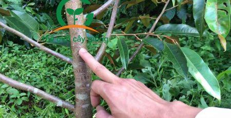 Tỉa cành tạo tán cho cây sầu riêng cần thực hiện đúng kỹ thuật