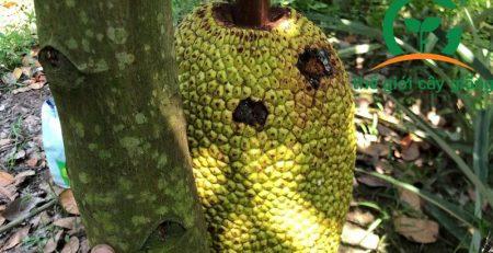 Bệnh ruồi đục trái hay xuất hiện trên cây