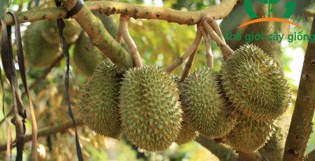 Chăm sóc sầu riêng Thái Monthong đúng chuẩn với năng suất cao