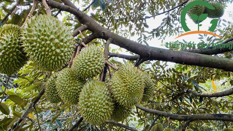 kỹ thuật phòng trị bệnh cây sầu riêng ri6