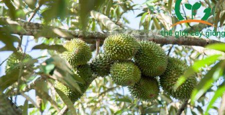 Hướng dẫn kỹ thuật trồng và chăm sóc cây sầu riêng Musang King hiệu quả