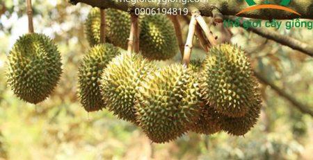 Kỹ thuật trồng sầu riêng Thái chất lượng như thế nào?