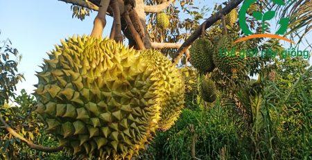 Mô hình trồng sầu riêng làm giàu hiện đang được phát triển tại nhiều tỉnh thành