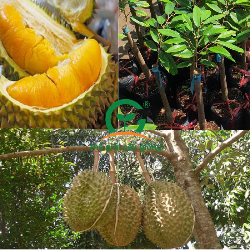 Sầu riêng Musang King có độ ngon đặc trưng, dễ trồng, lợi ích kinh tế cao