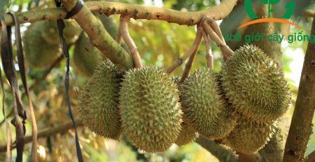 Sầu riêng Thái có thể trồng tại nhiều những vùng đất khác nhau