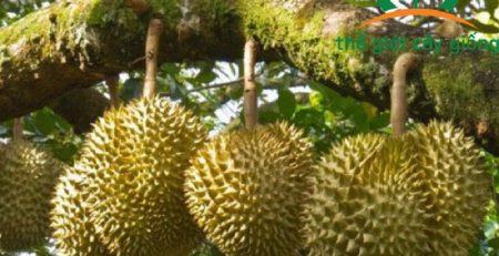 Sầu riêng Thái Monthong là loại cây được bà con chú trọng trồng trong những năm qua